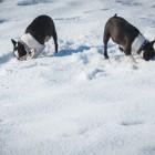 Pünktchen und Wilma schnuppern im Schnee
